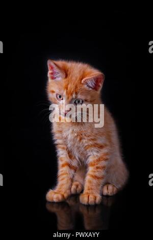 Adorable little red kitten sitting and looking down, isolated on black background. Stock Photo