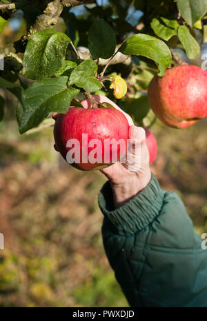 Ripe red dual-purpose apples on a tree (Malus domestica Howgate Wonder) ready for picking in October in Wiltshire England UK - Stock Photo