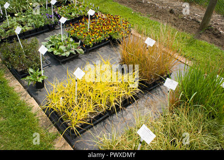 A neat sales display bed at Mead Nursery in Wiltshire UK featuring a golden carex grass and other plants. Note weed-free and easily accessible young p - Stock Photo