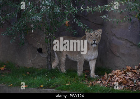 London, UK. 18th Oct 2018. ZLS London Zoo's Asiatic lions celebrate the advent of autumn with scented treat, London, UK. 18 October 2018. 18 October 2018. Credit: Picture Capital/Alamy Live News - Stock Photo