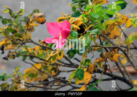 Helsinki, Finland - October 18, 2018. Rosa rugosa blossoming in October. Unseasonably warm October makes some plants believe it is spring again in Helsinki, Finland. Credit: Taina Sohlman/ Alamy Live News - Stock Photo