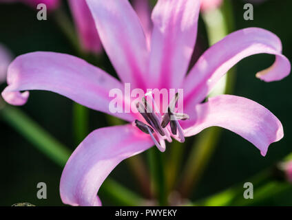A macro shot of a pink nerine bowdenii bloom. - Stock Photo