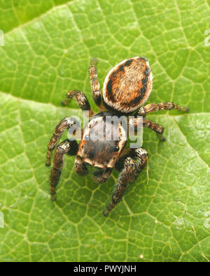Dorsal view of male Evarcha falcata Jumping spider. Tipperary, Ireland - Stock Photo