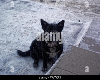 black mongrel dog in winter in the snow, Moscow - Stock Photo