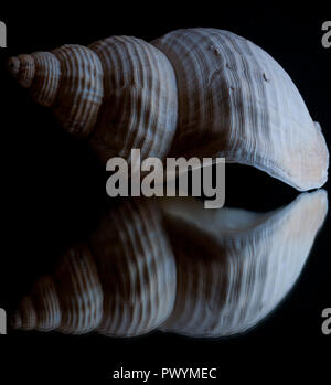 High contrast image and reflection of a seashell with black background - Stock Photo