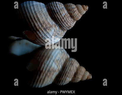 High contrast image and reflection of a seashell with black background and space for text - Stock Photo