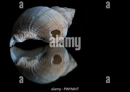 High contrast image and reflection of a seashell with space for text - Stock Photo