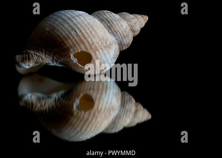 High contrast image and reflection of a seashell with black background as space for text - Stock Photo