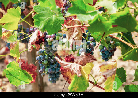 Ecologically Clean Grapes For The Production Of High Quality Wine Stock Photo Alamy