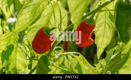Piquillo Peppers closeup 2. - Stock Photo