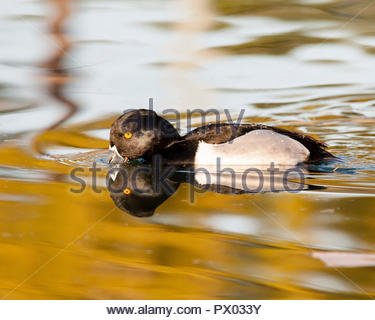 Male ring-necked duck and reflection showing water beading on its back. - Stock Photo
