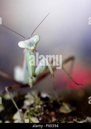 Praying mantis Giant Asian Mantis Hierodula membranacea macro close up - Stock Photo