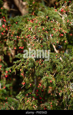 Branches and berries on a Yew Tree (Taxus Baccata) at The Church of St Aldhelm, Bishopstrow, Warminster, Wiltshire, UK. - Stock Photo
