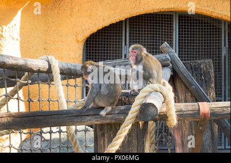 Japanese macaque. Macaca fuscata baby in Moscow Zoo. - Stock Photo