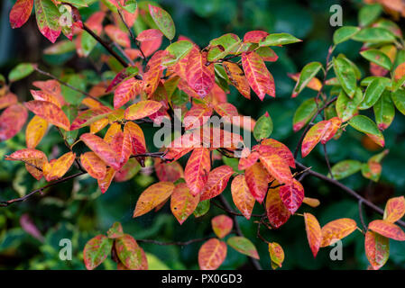 Autumn colour of Amelanchier Canadensis, serviceberry. Leaves turning red taking on the fall color. - Stock Photo