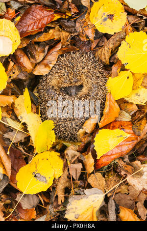 Hedgehog,native, wild, European hedgehog (Erinaceus Europaeus) curled up into a ball, hibernating in colourful yellow, orange and brown Autumn or Fall - Stock Photo