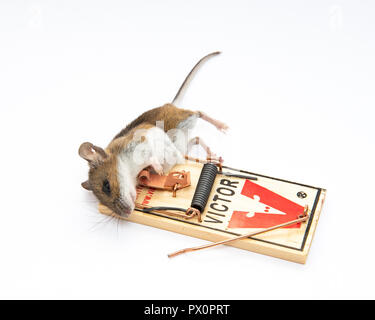 Dead mouse caught in Victor mouse trap. - Stock Photo