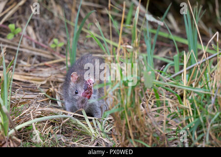 Detailed close up of horribly injured common brown rat (Rattus norvegicus) looking head-on with only one eye. Injury: dominance or territory squabble. - Stock Photo