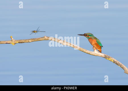 Comical side view of wild, hungry, common kingfisher bird (Alcedo atthis) isolated perching on branch over water, staring at hovering dragonfly prey. - Stock Photo
