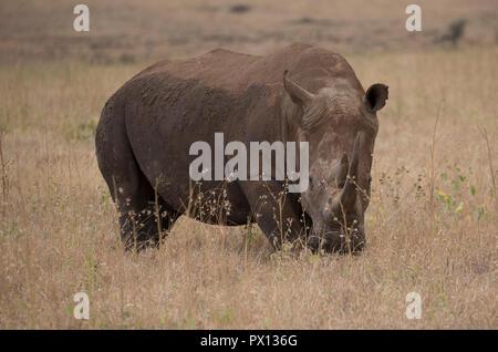 Southern white rhinoceros or southern square-lipped rhinoceros Ceratotherium simum simum Lewa Conservancy Kenya - Stock Photo