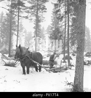 Working in the forest in the 1950s. A man works in his forest and cuts down trees to transport them on a sleigh with his horse to his home or the sawmill. Sweden March 1959 - Stock Photo