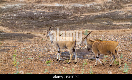Common eland in Kruger National park, South Africa ; Specie Taurotragus oryx family of Bovidae - Stock Photo