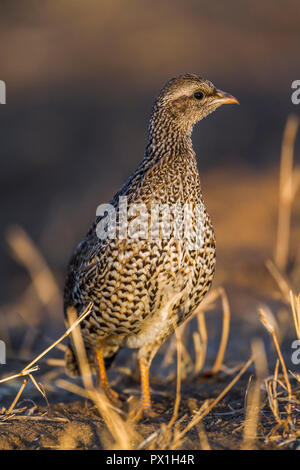 Natal francolin in Kruger National park, South Africa ; Specie Pternistis natalensis family of Phasianidae - Stock Photo
