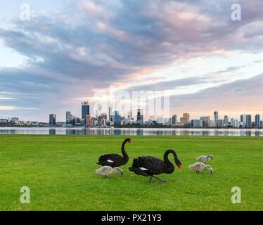 Blacks swans (Cygnus atratus) and their cygnets in Sir James Mitchell Park, Perth, Western Australia - Stock Photo