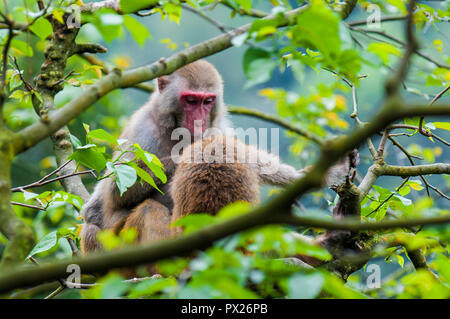 Wild macaque monkeys (Macaca mulatta) near Ten Thousand Buddhas Monastery, Sha Tin, Hong Kong, China. - Stock Photo