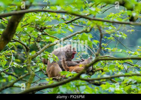 Wild macaque monkeys (Macaca mulatta) near Ten Thousand Buddhas Monastery, Sha Tin, Hong Kong, China. - Stock Photo