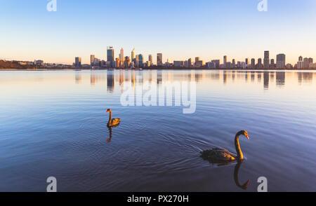 Blacks swans (Cygnus atratus) on the Swan River at sunrise. Perth, Western Australia - Stock Photo
