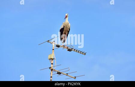 White Stork, Ciconia ciconia, migrating over the Maltese Islands, resting and balancing on television antenna, aerial, transmitter, urban bird nature - Stock Photo