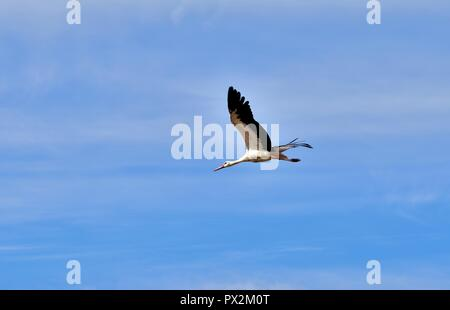 A White Stork, Ciconia ciconia, migrating over the Maltese Islands. Bird is in flight, wings and neck outstretched, flying in clear blue morning sky . - Stock Photo