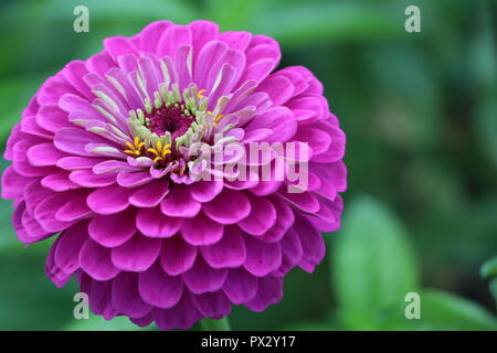 Pink Dahlia with interesting details - Stock Photo