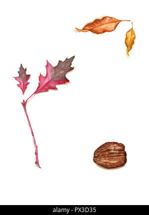 Hand drawn watercolor of fall foliage and walnuts. Autumn vintage botanical illustration of red oak branch with leaf, ash leaves, walnut isolated on t - Stock Photo
