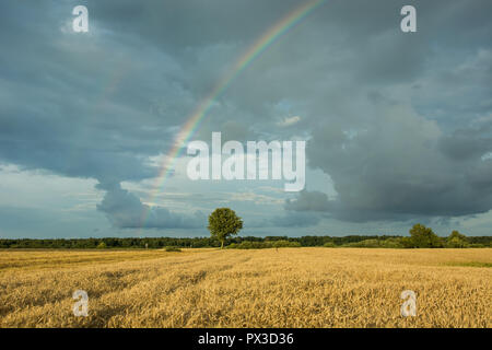 Field of grain, forest on the horizon and rainbow on a background of dark rainy clouds in the sky - Stock Photo