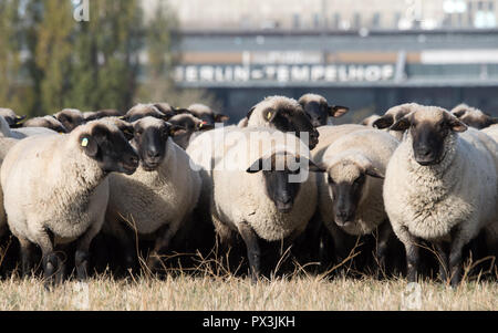 Berlin, Germany. 19th Oct, 2018. Sheep graze on the Tempelhof field. Until 21 October, 200 sheep will be running traditional landscape conservation activities in the Tempelhof field. Credit: Ralf Hirschberger/dpa/ZB/dpa/Alamy Live News - Stock Photo
