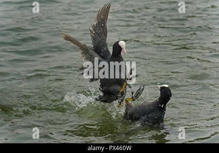 Coots Fulica atra fighting in the lake Verulam Park St. Albans Hertfordshire UK - Stock Photo