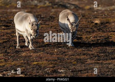 Svalbard reindeers (Rangifer tarandus platyrhynchus), Spitsbergen Archipelago, Svalbard and Jan Mayen, Norway - Stock Photo
