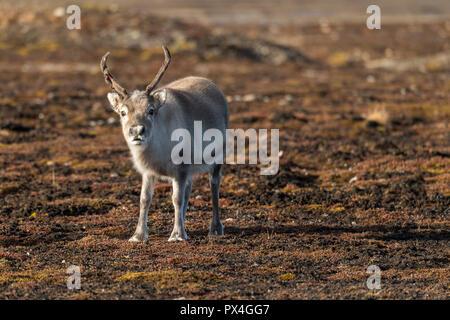 Svalbard reindeer (Rangifer tarandus platyrhynchus), Spitsbergen Archipelago, Svalbard and Jan Mayen, Norway - Stock Photo