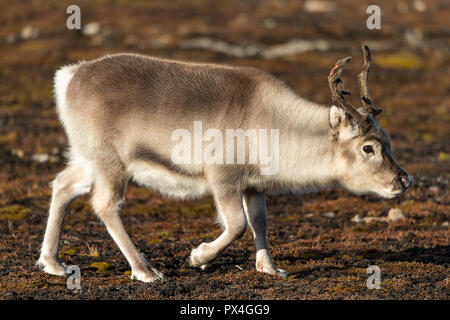 Svalbard reindeer (Rangifer tarandus platyrhynchus), Spitsbergen Archipelago, Svalbard and Jan Mayen, Norway - Stock Photo