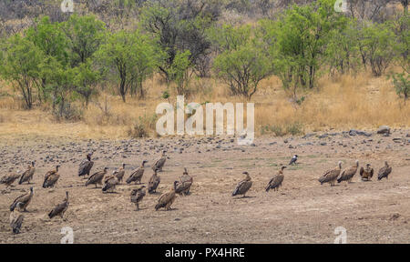 Vultures on the ground next to a drying waterhole in the African wilderness image with copy space in landscape format - Stock Photo