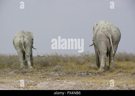 Zwei weiße männliche Elefanten, mit weißem Schlamm bedeckt, Etosha Nationalpark,  Namibia, AfrikaNamibia, Afrika - Stock Photo