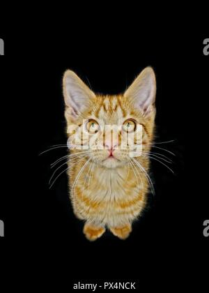 Funny ginger kitten looking curious up to the camera. Isolated on black background. - Stock Photo