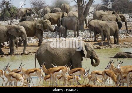 Elefanten am Okaukuejo Wasserloch, Thomson-Gazellen, Etosha Nationalpark, Namibia, Afrika - Stock Photo