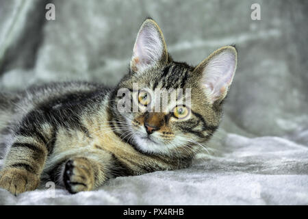 small mongrel striped kitten lying on its side, front paws stretched out, muzzle into the camera, looking straight, yellow with green eyes, orange - Stock Photo