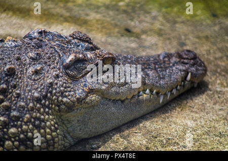Chiang Mai, Thailand - July 1, 2018 :  At Chiang Mai Zoo,  crocodile resting on the ground Close-up. - Stock Photo