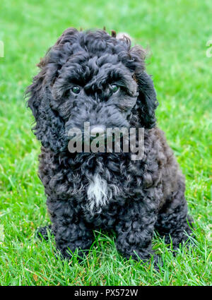 Black cockerpoo curly haired puppy sitting on green grass the puppy is stairing directly into the camera she has a triangle of white fur on her chest  - Stock Photo