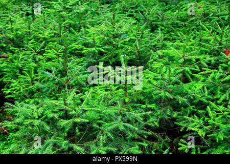 Green branches of young fur-tree growing in mountainous locality. Fut-rees in dense forest. Evergreen spruces - Stock Photo