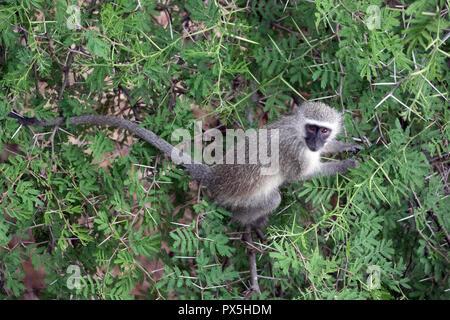 Kruger National Park.   Vervet monkey (Chlorocebus pygerythrus). South Africa. - Stock Photo